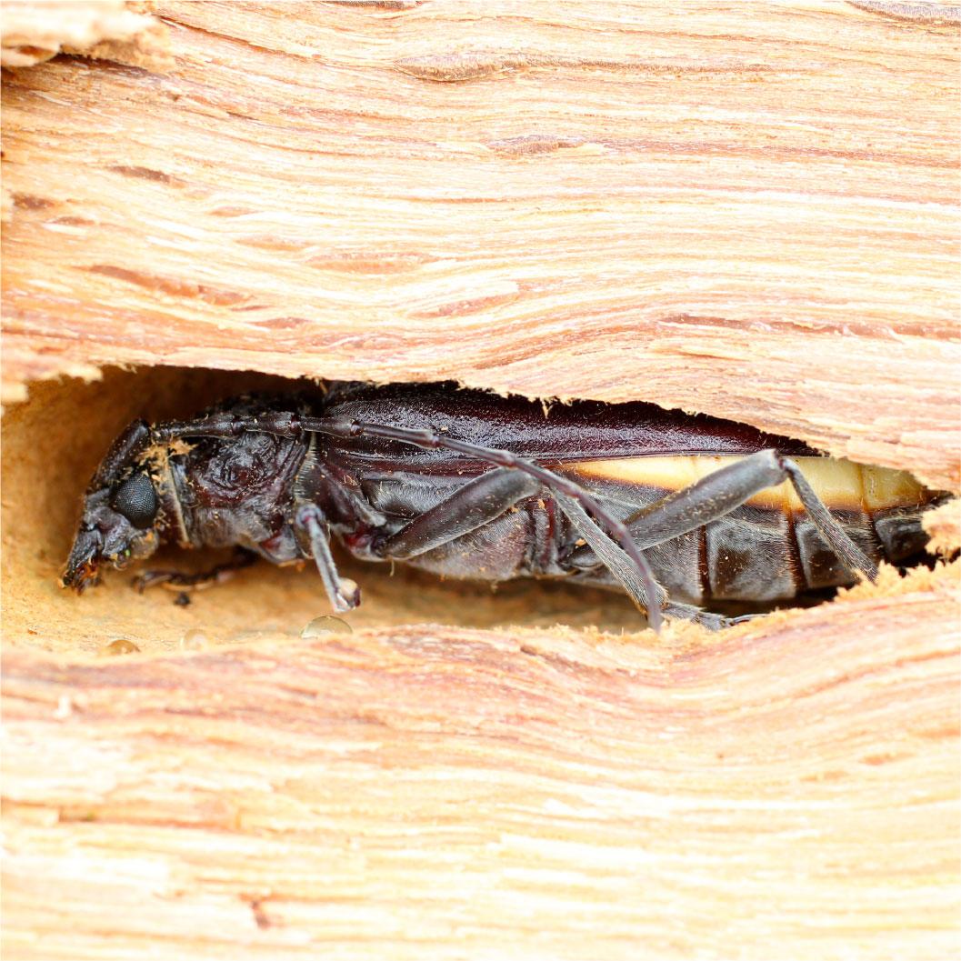 Insecte xylophage nuisible à la charpente de la maison